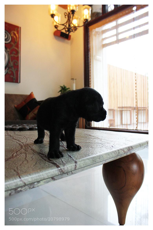 Photograph Labrador Pup by Yashovardhan Sodhani on 500px