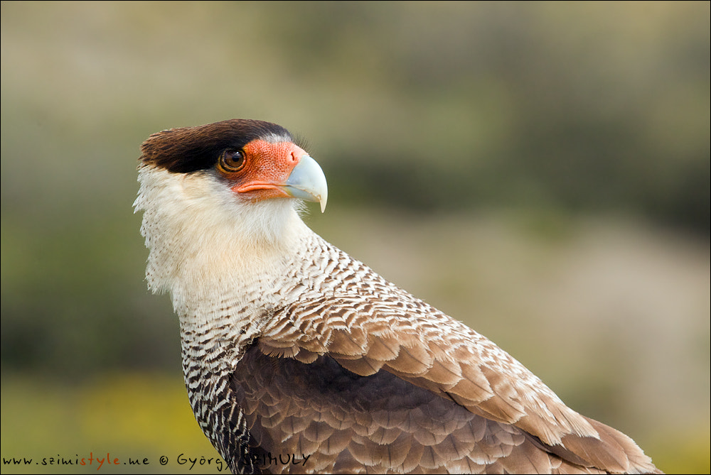 Photograph Southern Crested Caracara (Caracara plancus) by Gyorgy Szimuly on 500px