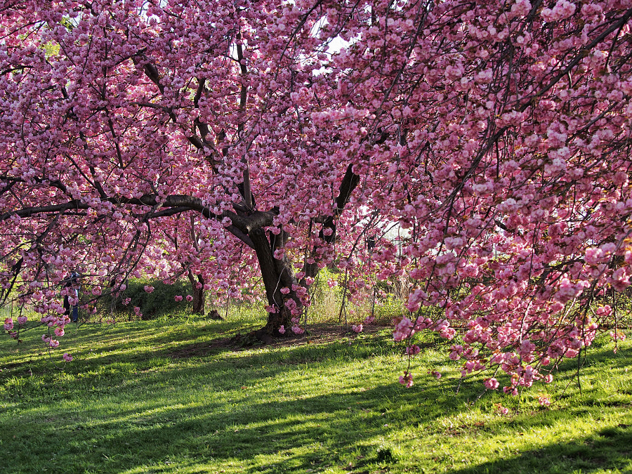 Photograph Kwanzan Cherry Tree by Nancy Lundebjerg on 500px