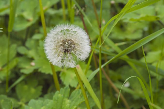 Taraxacum dandelion