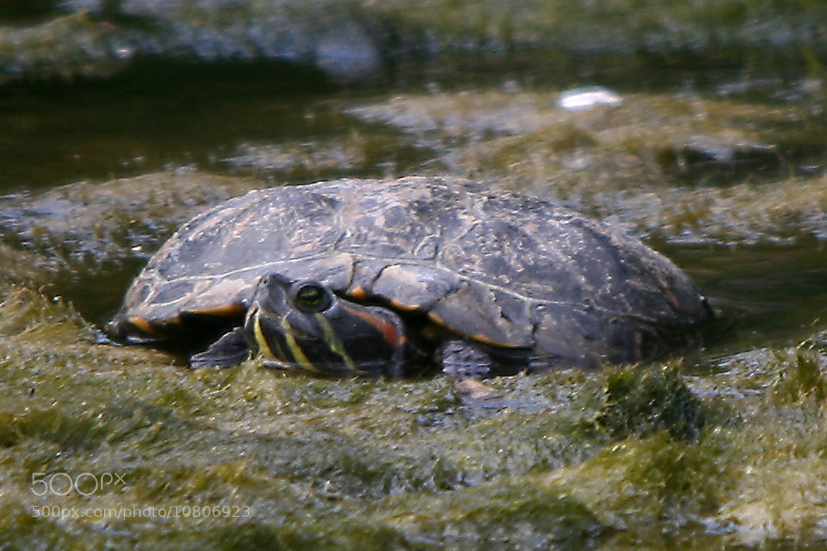 Photograph RED NECKED TERRAPIN by John Chilton on 500px