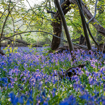 British Bluebell Woodland