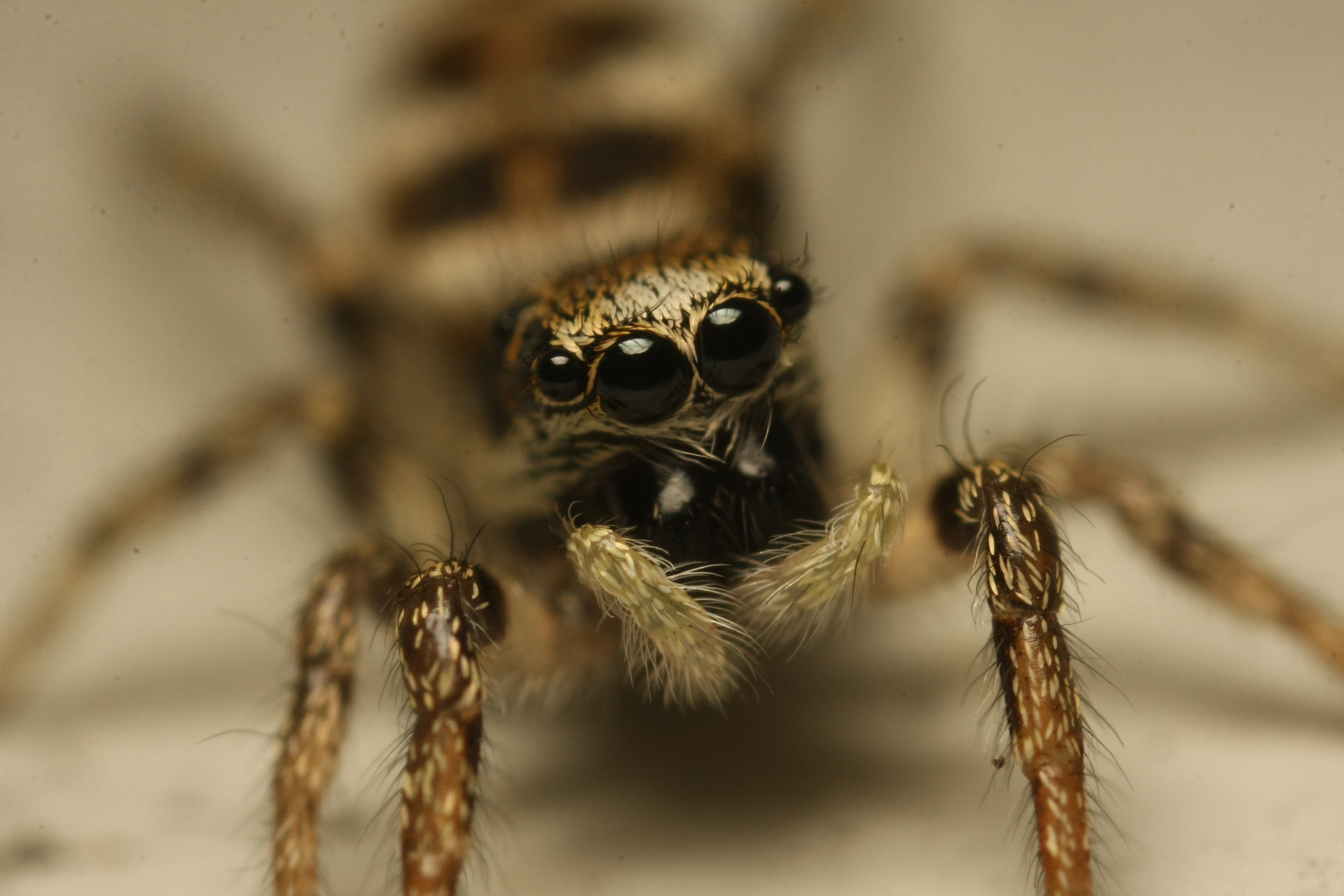 Photograph Jumping spider by Harm Oosterhuis on 500px