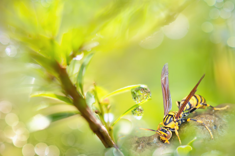 Photograph ~ Yellow Paper-Wasp ~ by FuYi Chen on 500px