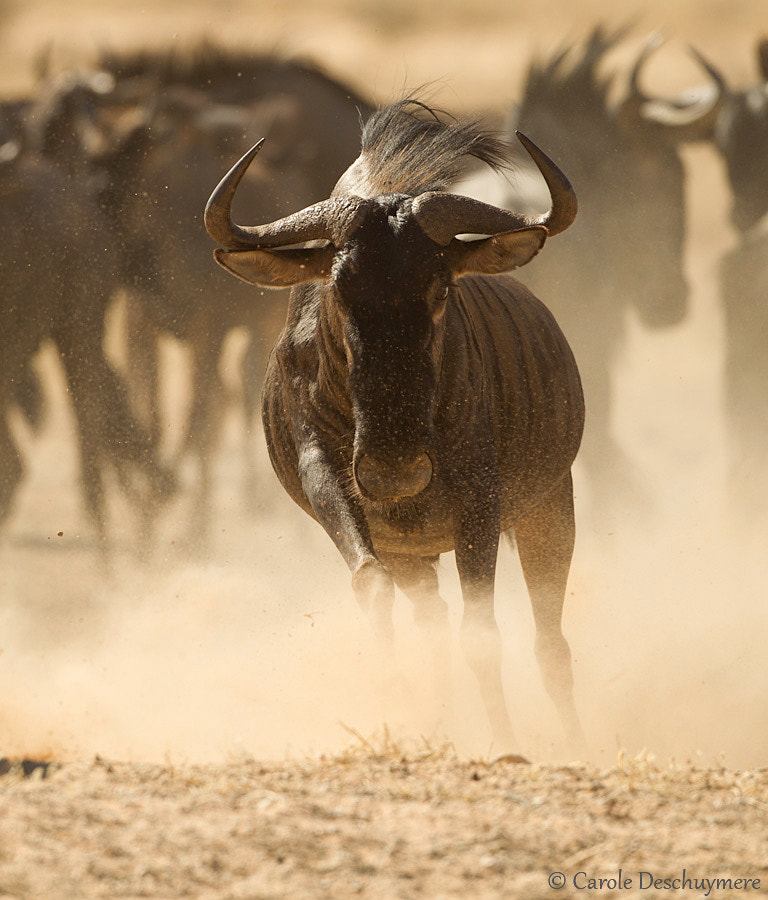 Photograph Wildebeest by Deschuymere Carole on 500px