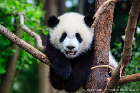 baby animals - Baby Panda by Janet Weldon on 500px