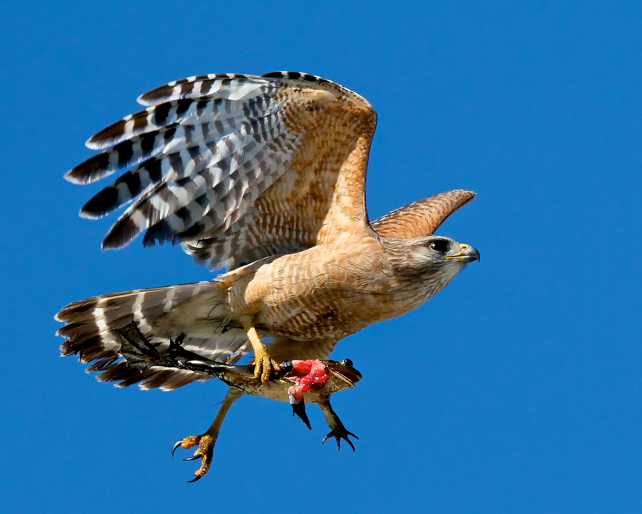 Photograph Red-shouldered Hawk (Buteo lineatus) by Alessandro Abate on 500px