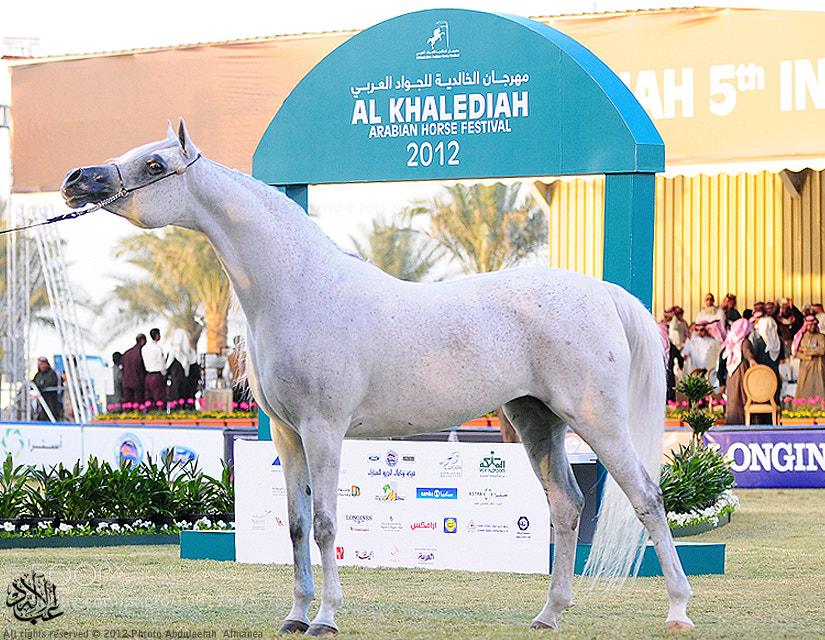 Photograph Arabian Horse by Abduleelah Al-manea on 500px
