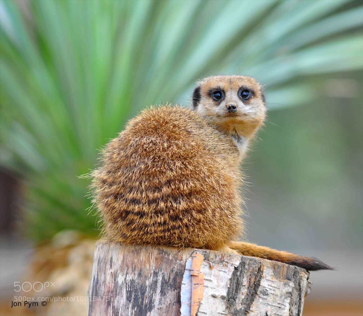 Photograph Meerkat by Jon Pym on 500px