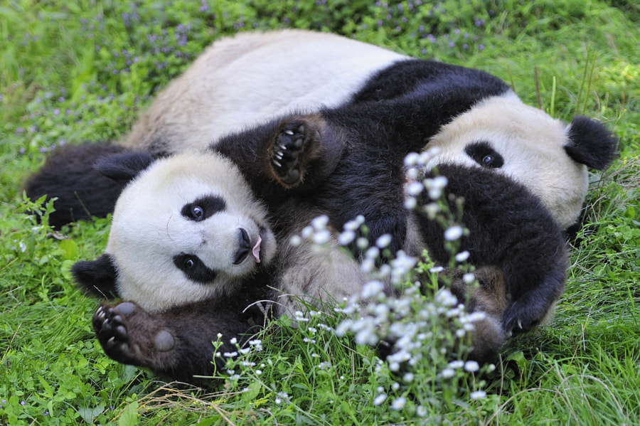 Photograph Giant Panda Happiness  by Josef Gelernter on 500px