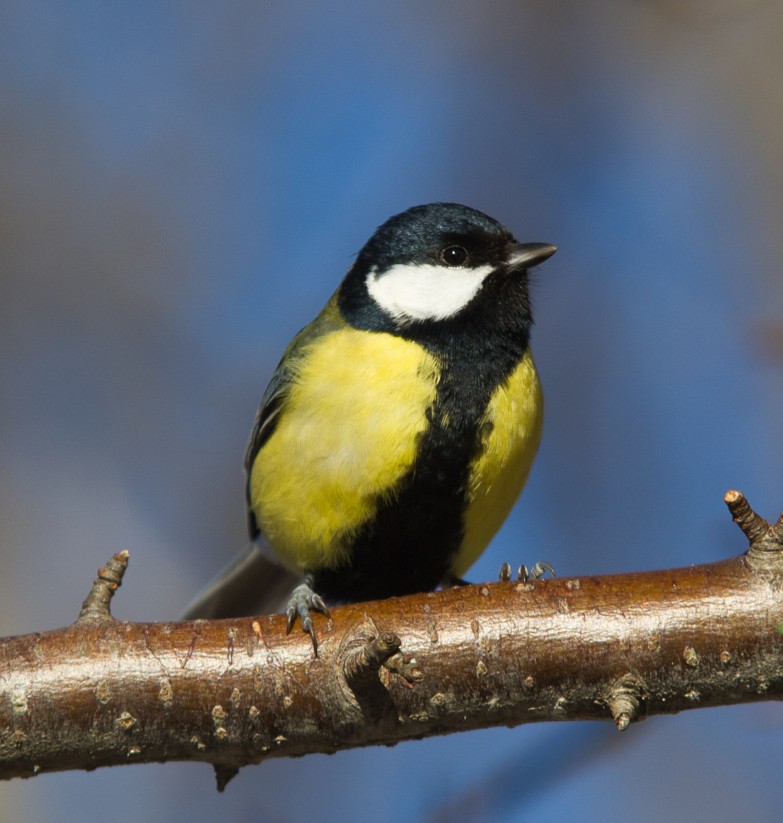Photograph Tit, relaxing in the sun by Mai-Britt Lundervold on 500px