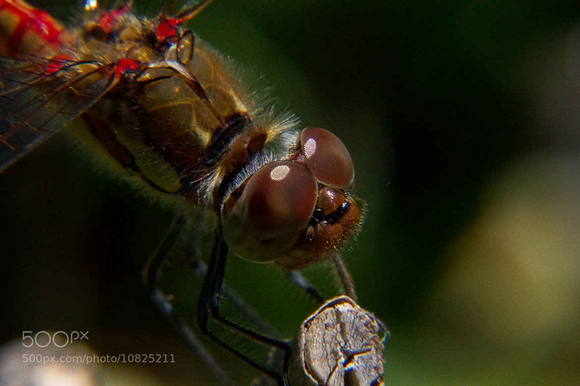 Photograph Blutrote Heidelibelle  by Wolfgang Poignee on 500px