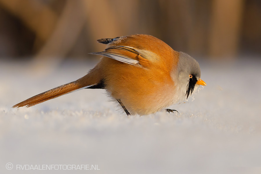 Photograph Bearded Tit (Panurus biarmicus) in snow by Remco van Daalen on 500px