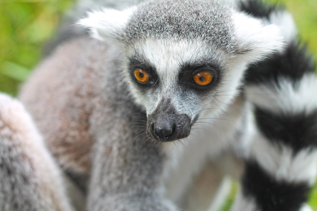 Photograph Ring Tailed Lemur by Anant Bhadreshwara on 500px