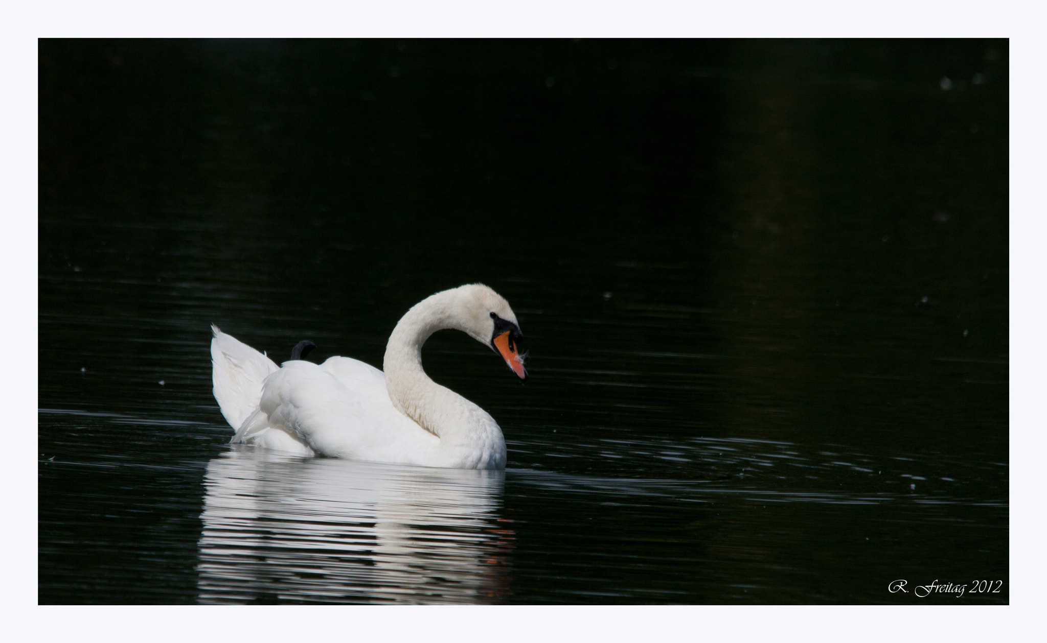 Photograph Swan by Regina F on 500px