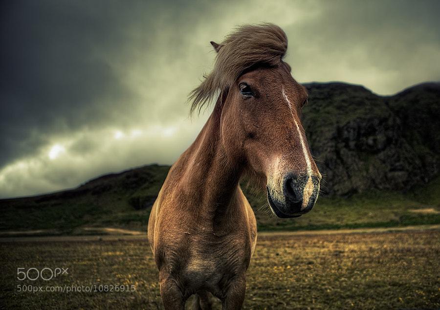 Icelandic Horse by Michael Murphy (murphyz) on 500px.com