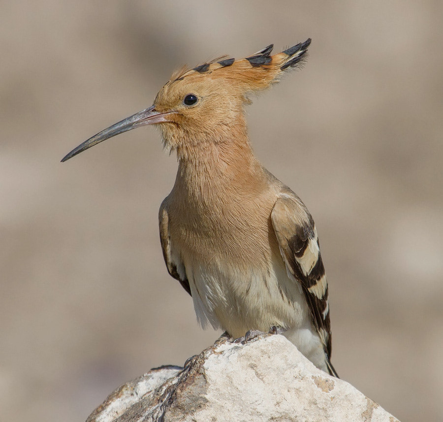 Photograph Hoopoe 3 ! by Asghar Mohammadi Nasrabadi on 500px