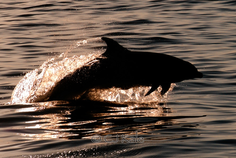 Photograph Dolphin silhouette  by Cj Kale on 500px