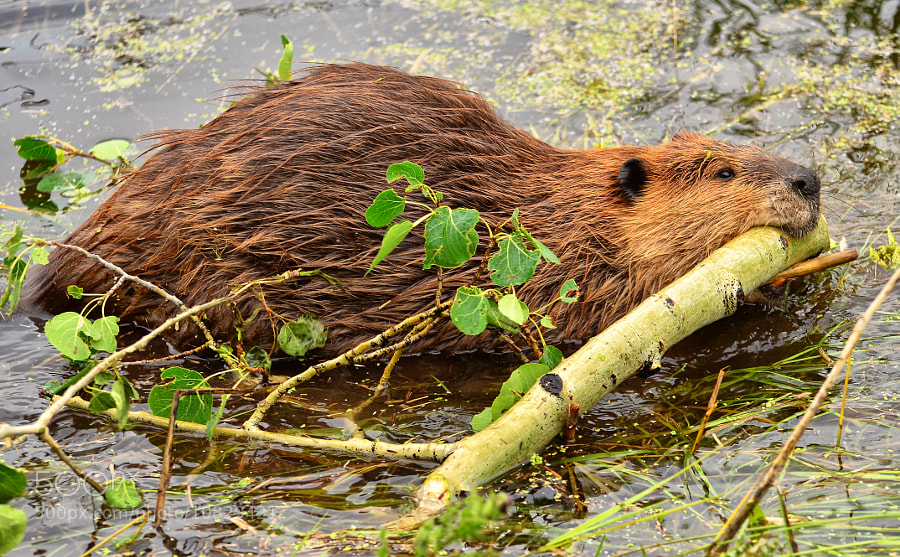 Photograph Wild Beaver by Jeff Clow on 500px