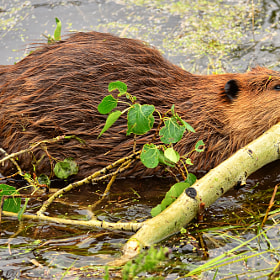 Wild Beaver by Jeff Clow (jeffclow)) on 500px.com