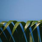 Palm fronds, Honduras