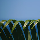 Palm fronds, Honduras