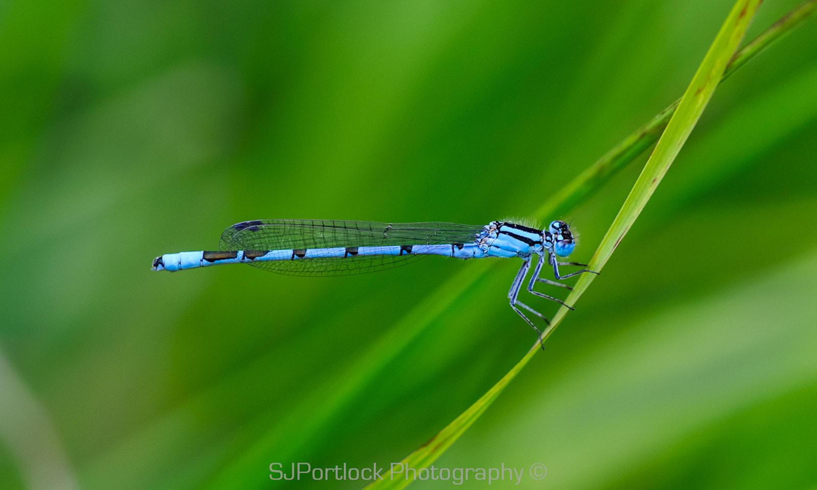 Photograph Common Blue Damselfly by Stephen Portlock on 500px