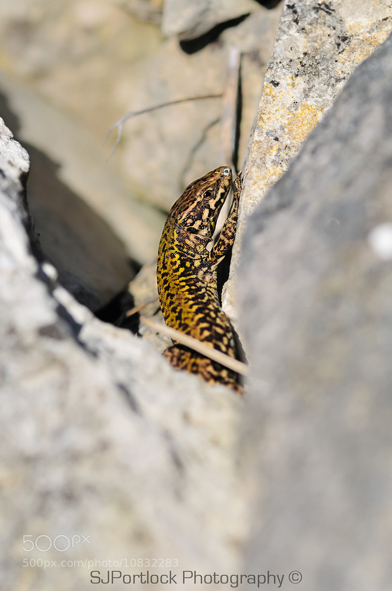 Photograph Wall Lizard by Stephen Portlock on 500px