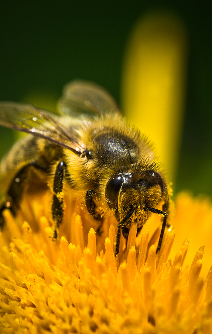 Photograph Bee Close-up by Andy Butler on 500px