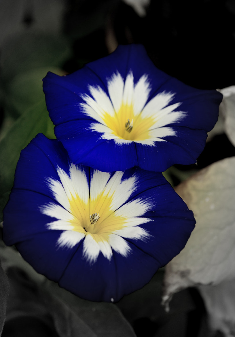 Photograph Blue Ensign Morning Glory by Nate A on 500px