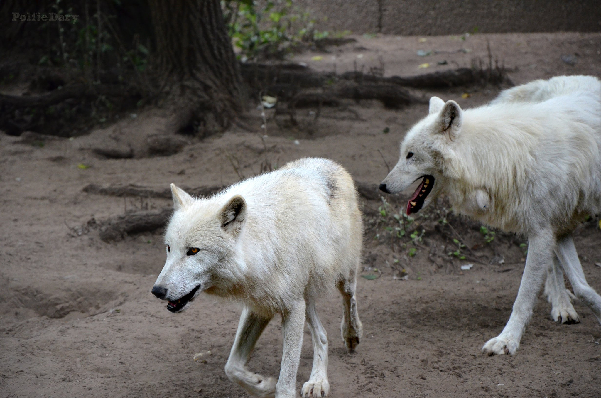 Photograph Two wolves by Anne B on 500px