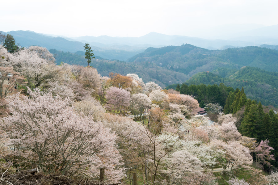 Photograph Sakura(Cherry blossom) in Yoshino Mt. by Kou Gondaira on 500px