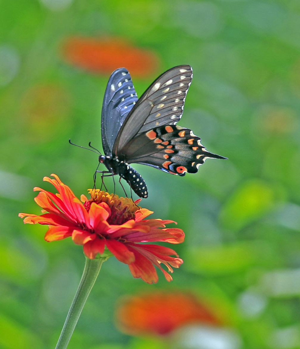 Photograph Swallowtail Butterfly by Bill Weaver on 500px