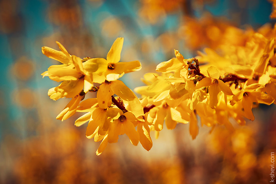 Photograph Yellow SPRING by Ekaterina Shevi on 500px