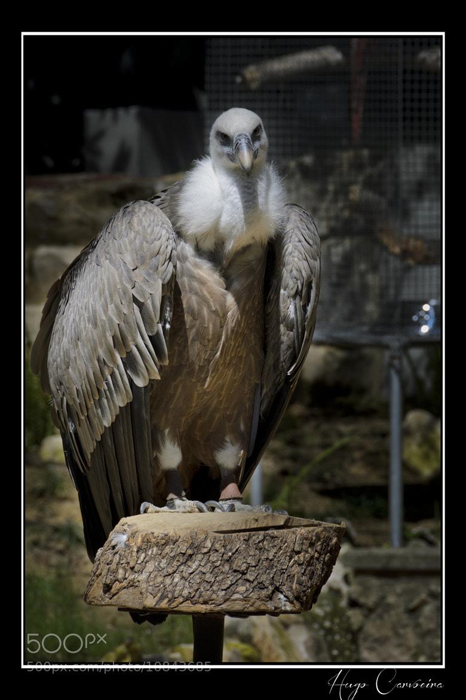 Photograph Griffon Vulture by Hugo Carvoeira on 500px