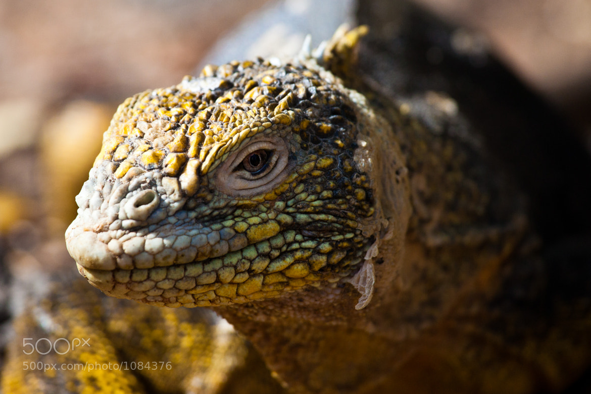 Photograph Iguana in Galapagos by Laurent Lellu on 500px