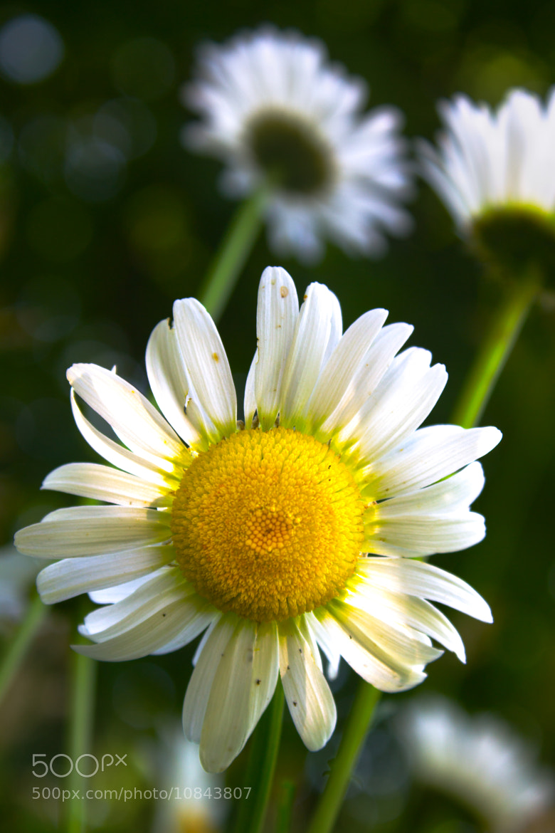 Photograph Daisy by Scott Brodersen on 500px