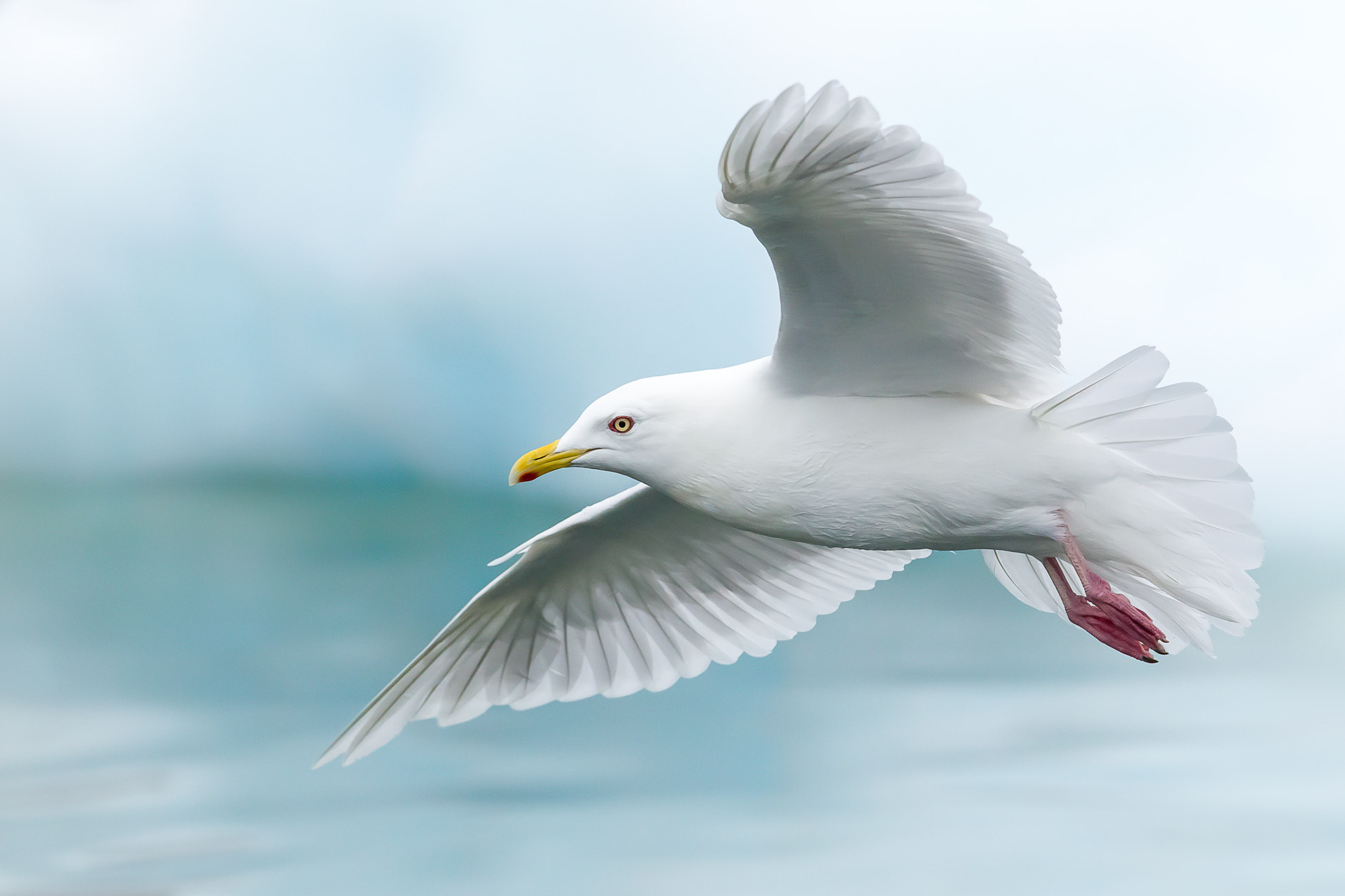 Photograph Iceland Gull (Larus glaucoides) by Tapio Kaisla on 500px
