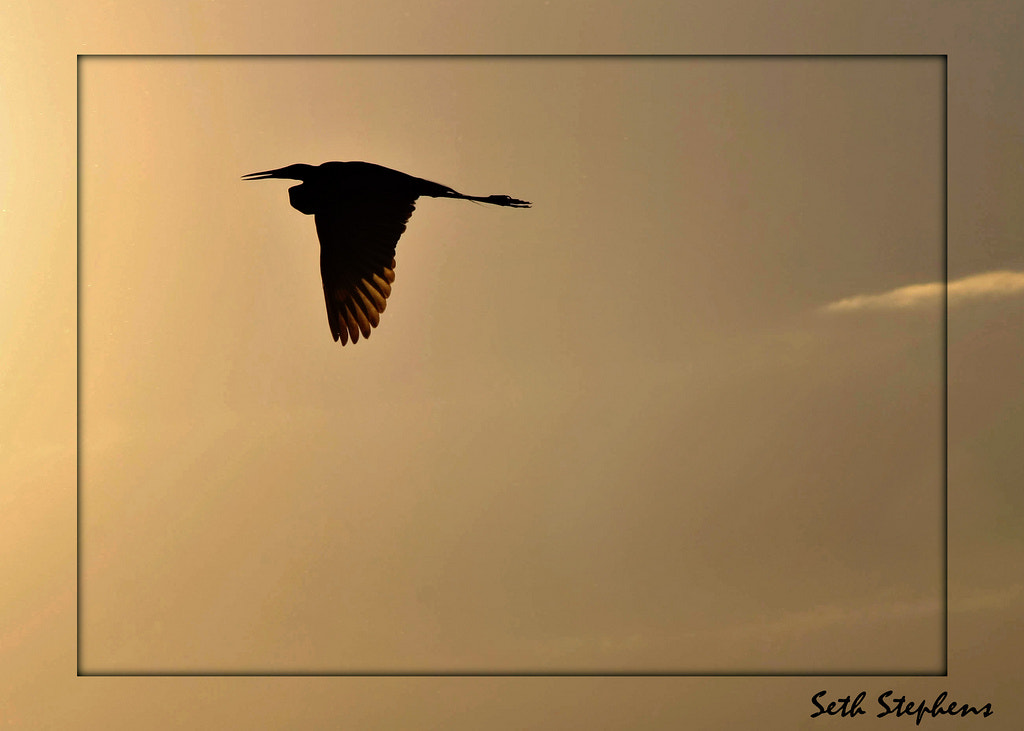 Photograph Heron Sil. by Seth Stephens on 500px