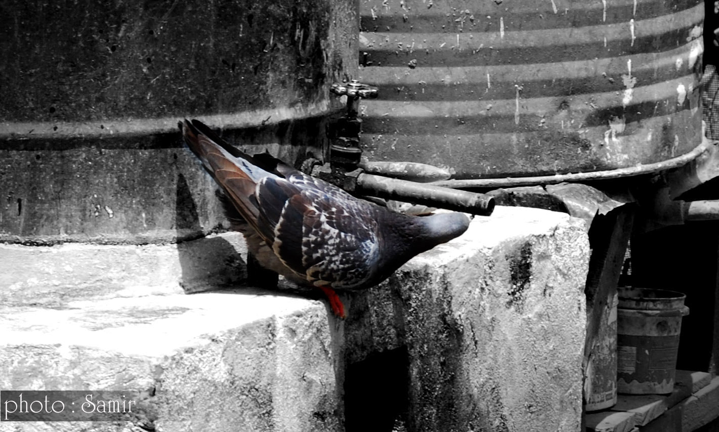 Photograph thirsty Pigeon by Samir Udash on 500px
