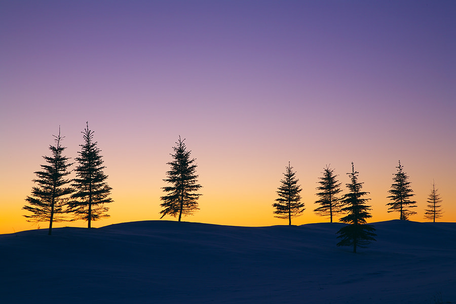 Photograph Pine Trees at Winter Dawn by Henry Liu on 500px