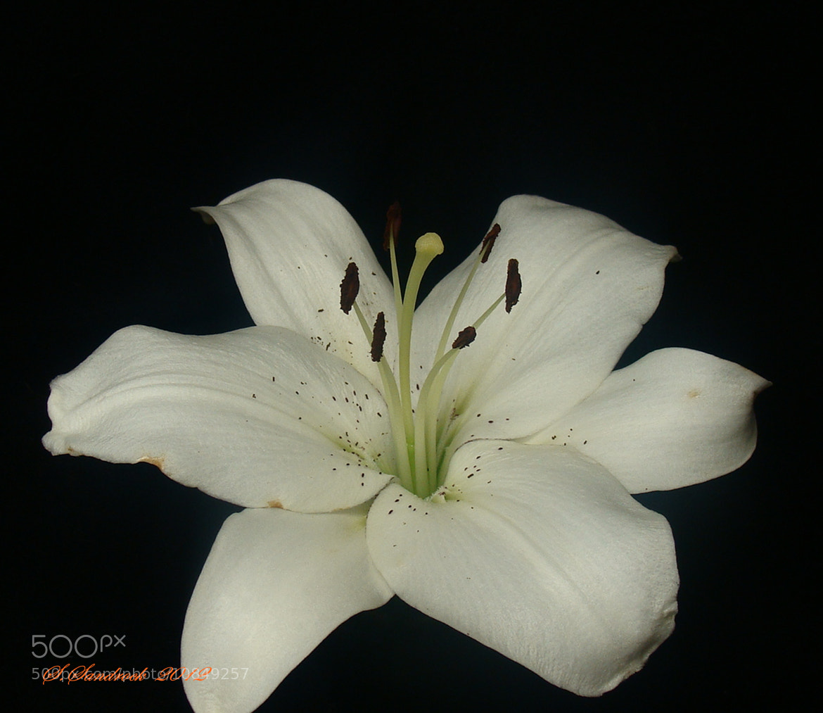 Photograph Madonna Lily II by Silvia Sandrock on 500px