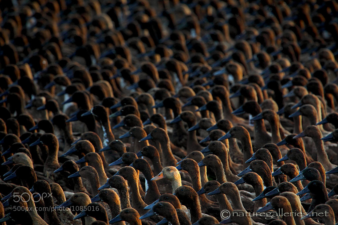Photograph The-ducks by Sasi - smit on 500px
