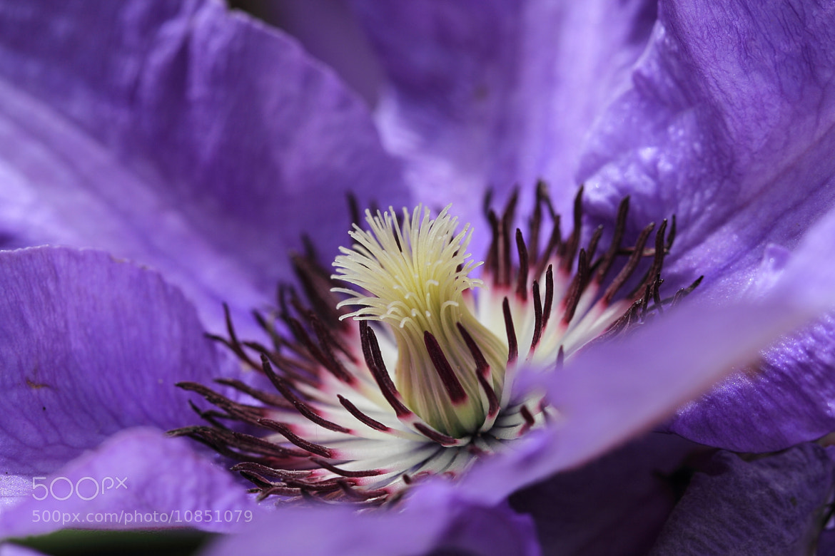 Photograph Clematis by Eva Lechner on 500px