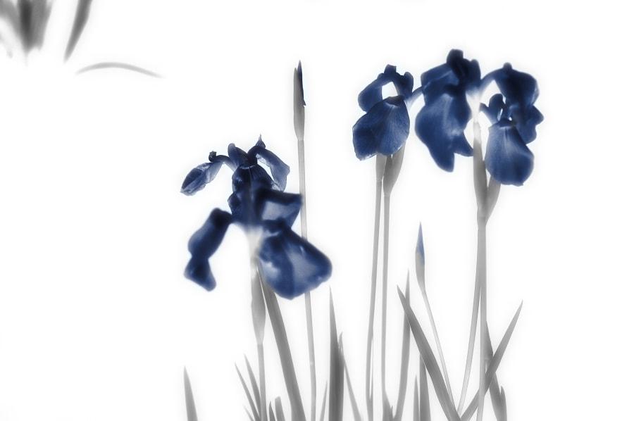 Iris(写墨画)