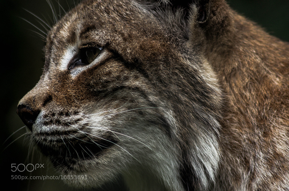 Photograph Lynx 2 by julian john on 500px