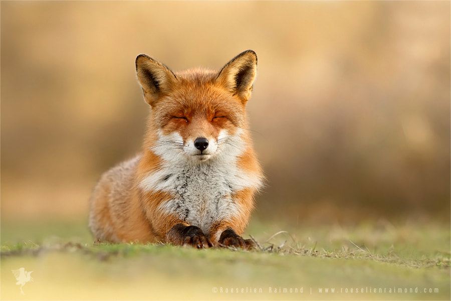 Zen Fox 3.0 by Roeselien Raimond on 500px.com