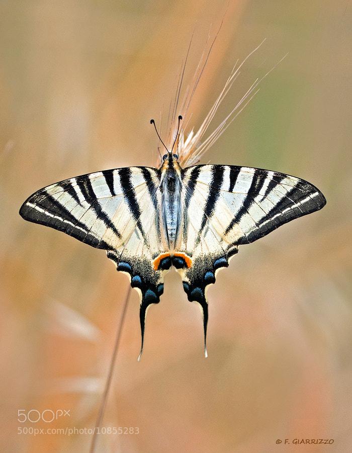 Photograph Scarce swallowtail by Fabio Giarrizzo on 500px