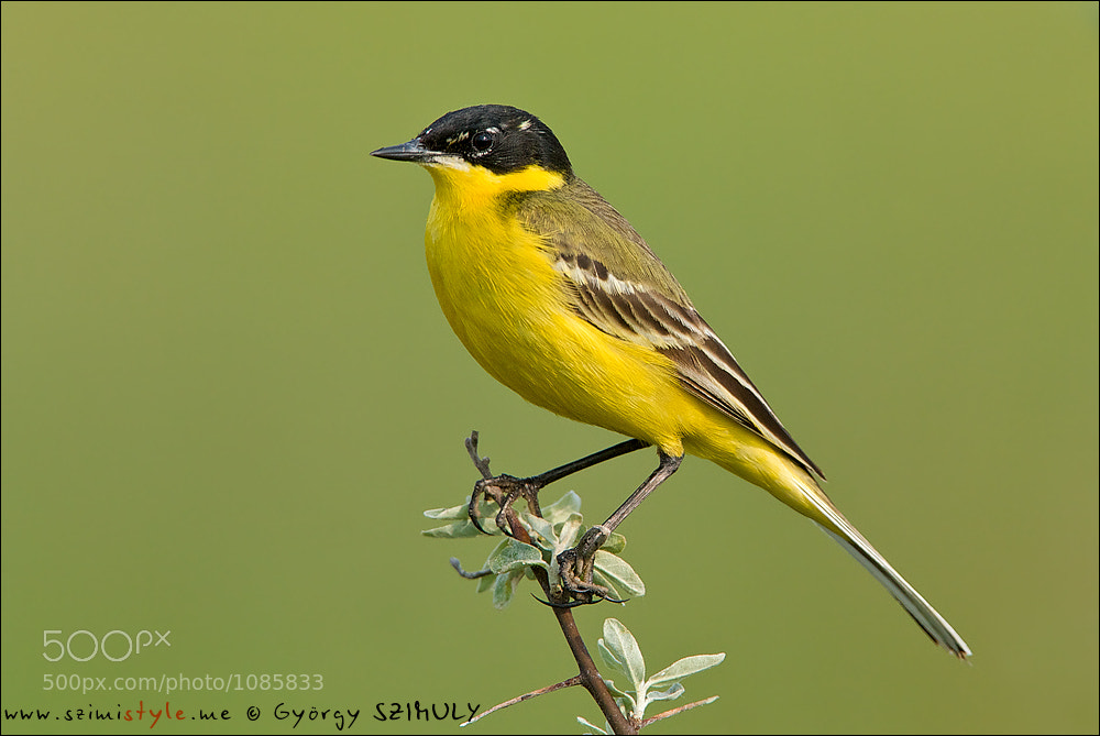 Photograph Western Yellow Wagtail (Motacilla flava) by Gyorgy Szimuly on 500px