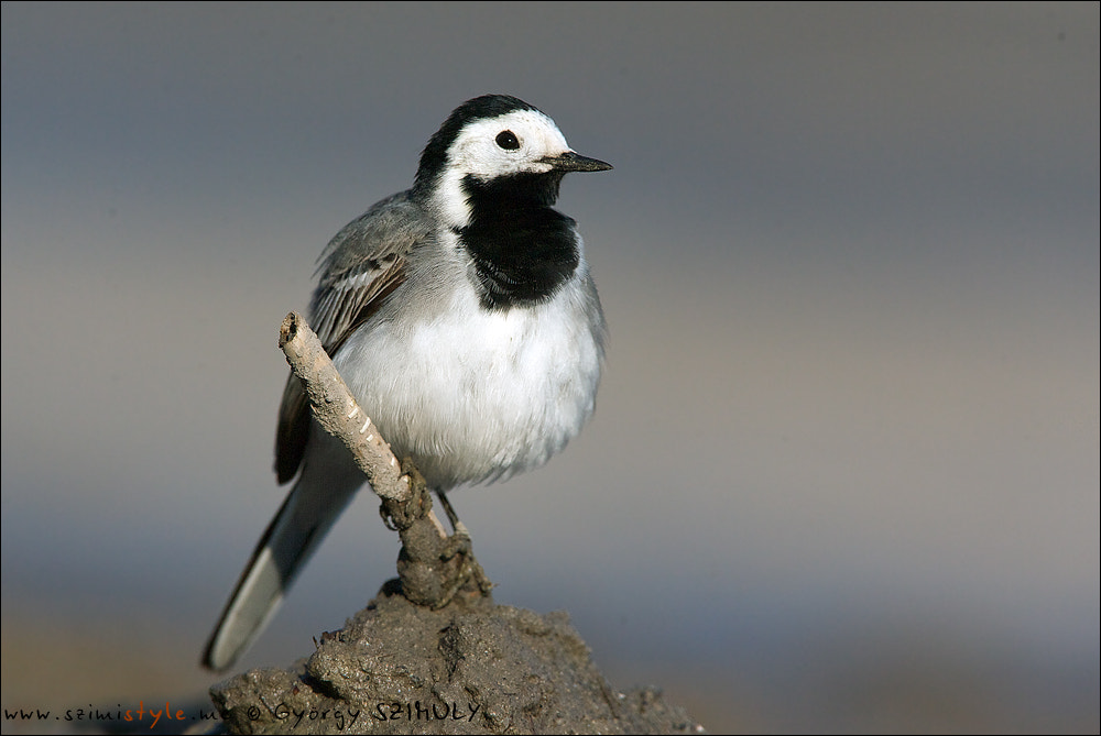 Photograph White Wagtail (Motacilla alba) by Gyorgy Szimuly on 500px